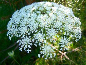 белый цветок, соцветия