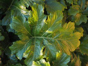 большой зеленый лист