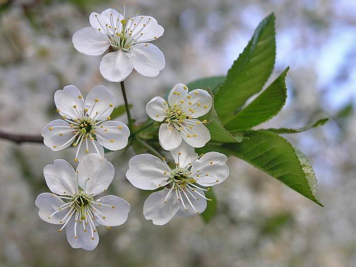 Соцветия вишни