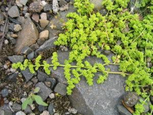 зеленое растение с мелкими листьям, камни