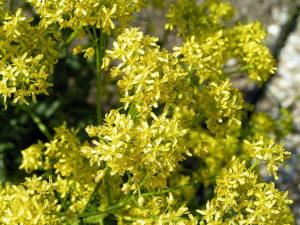много мелких желтых цветов