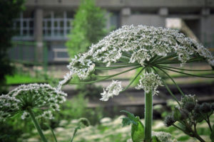 зеленый стебель, белые цветки, дом