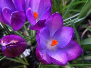 фиолетовые цветки, трава зеленая