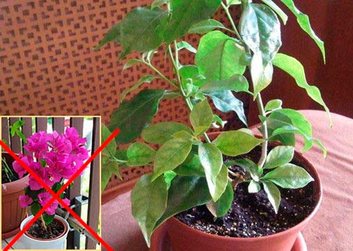 Бугенвиллия не цветет