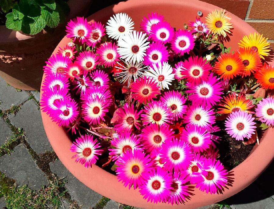 Цветет мезембриантемум, начиная с лета и продолжаясь до октября