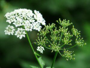 соцветия белые, цветок отцвевший
