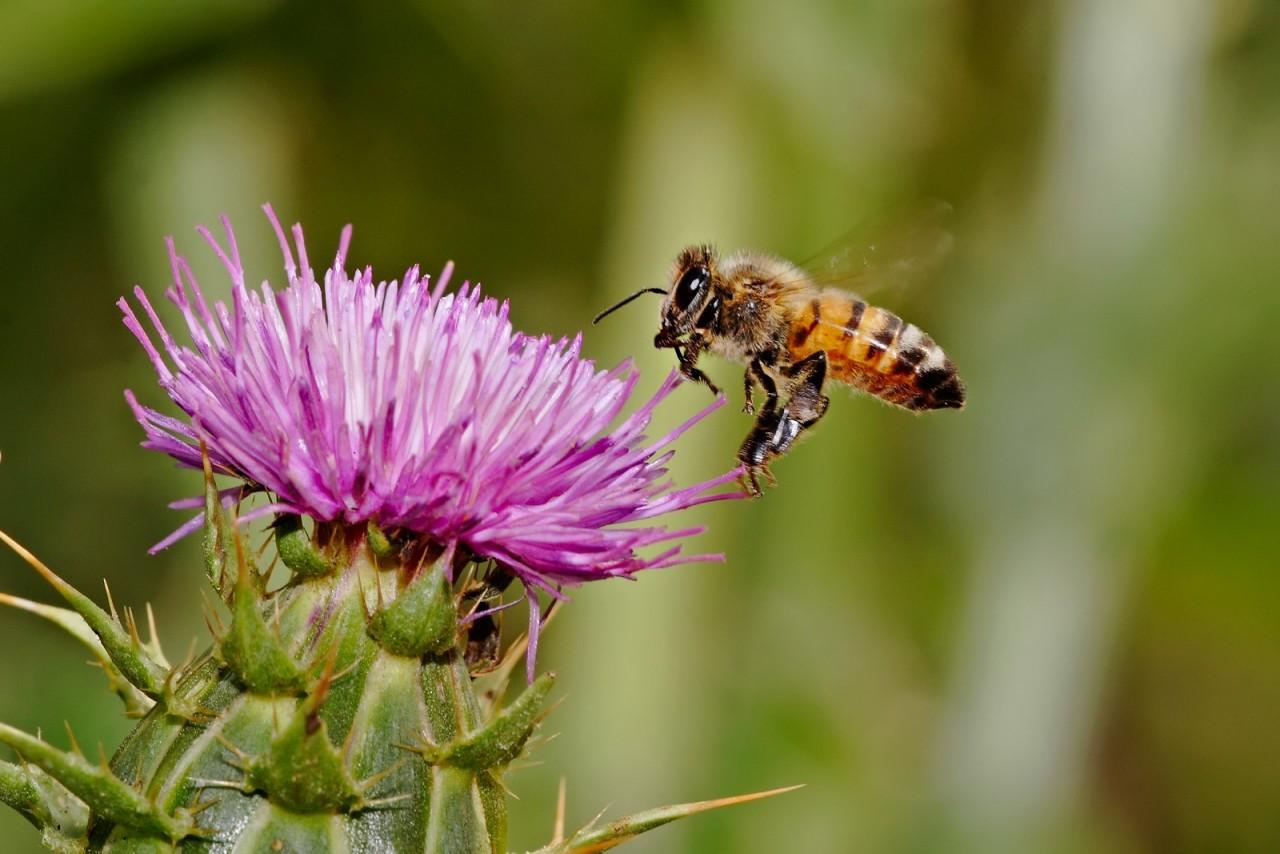 Фото чертополоха и пчелы