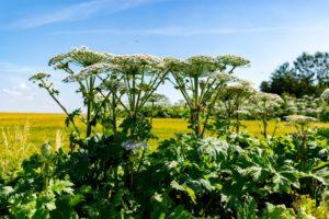 белые цветы, зеленые листья, стебли, желтое поле, голубое небо