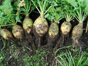 корнеплоды, зелень, почва