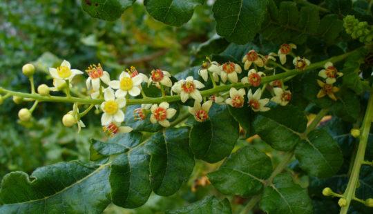 мелкие белые цветки, зеленые листья, стебли
