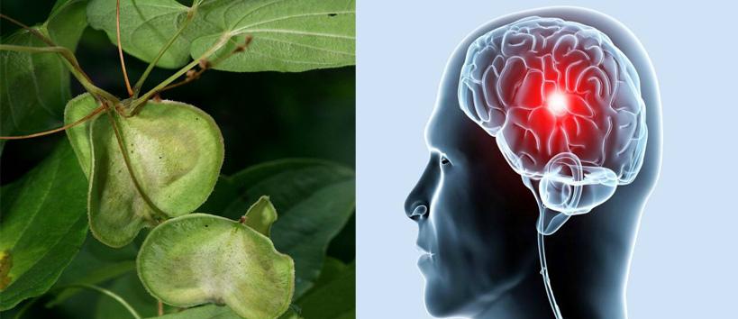 Диоскорея для лечения атеросклероза сосудов головного мозга
