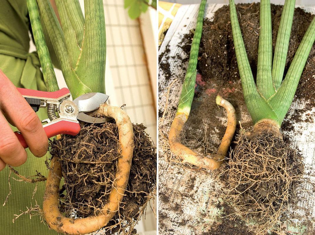 Сансевиерия деление корневищ