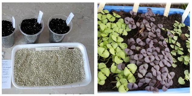 Размножение бузины черной семенами