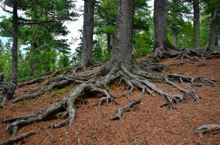 Мощные якорные корни кедра сибирского