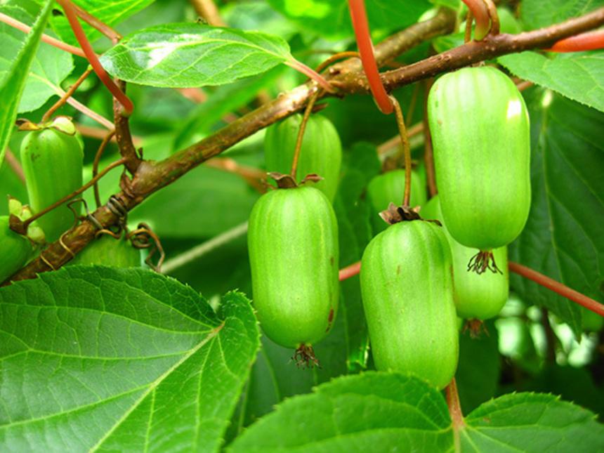 Древесная лиана Актинидия: как вырастить растение в саду