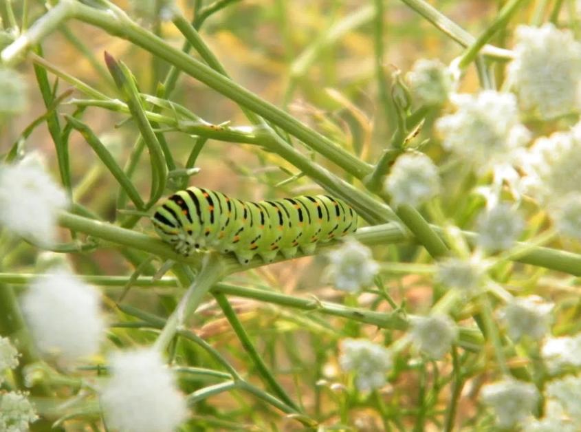 Вредители и болезни белоцветника