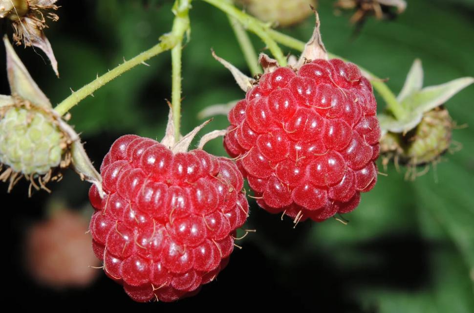 Малина плоды