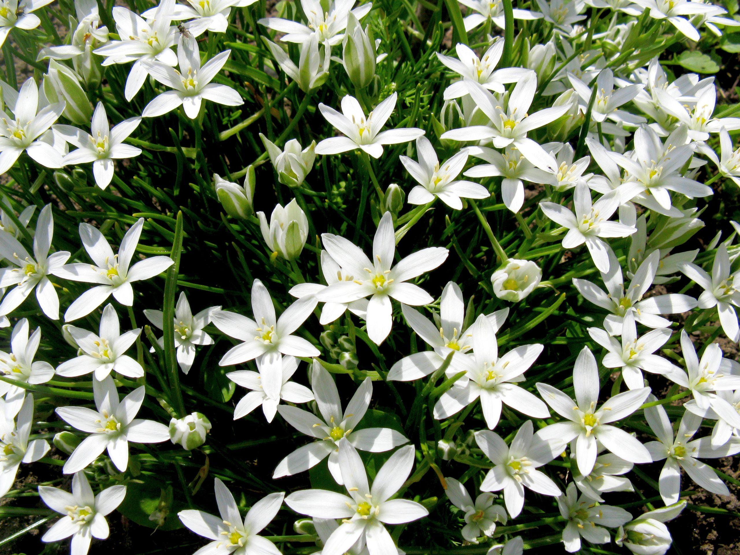 много белых цветов, зеленые листья