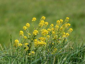 Луг, желтые цветы