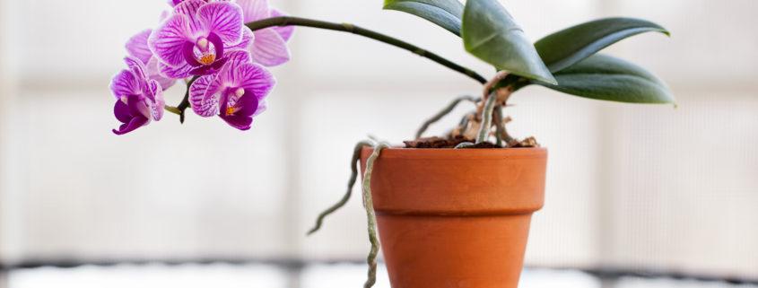 пересаживаем орхидею в домашних условиях пошаговая инструкция