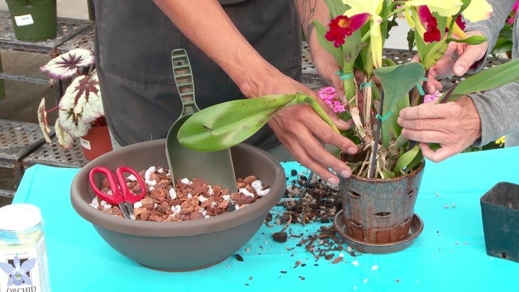 пересадка орхидеи в домашних условиях пошагово