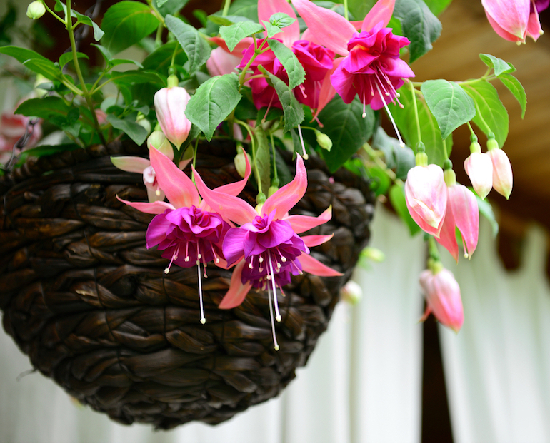 Комнатное растение фуксия