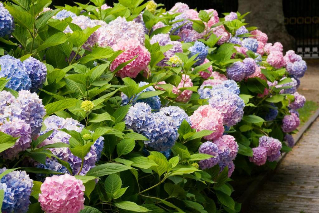 Крупнолистовая садовая гортензия