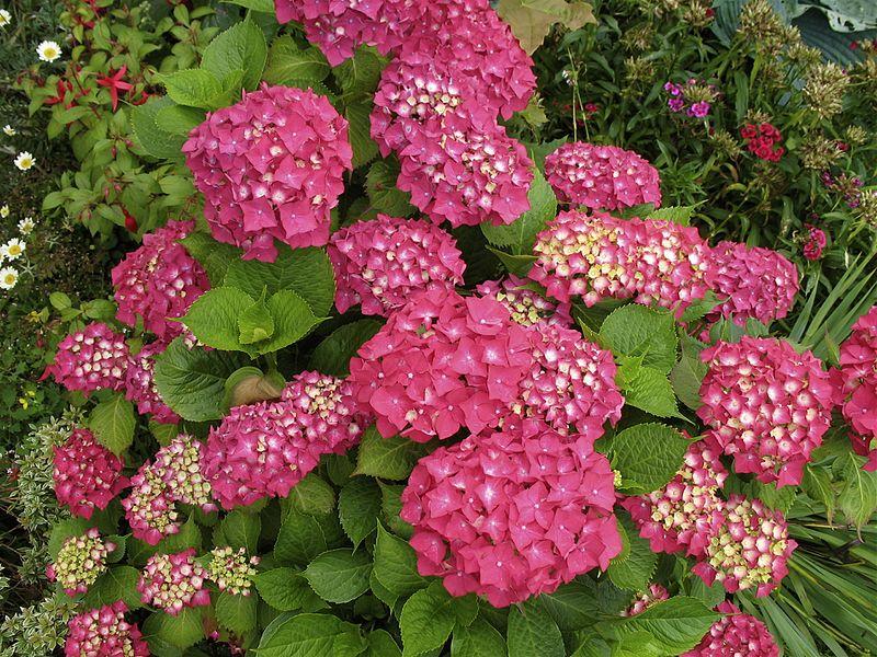 Розовая садовая гортензия