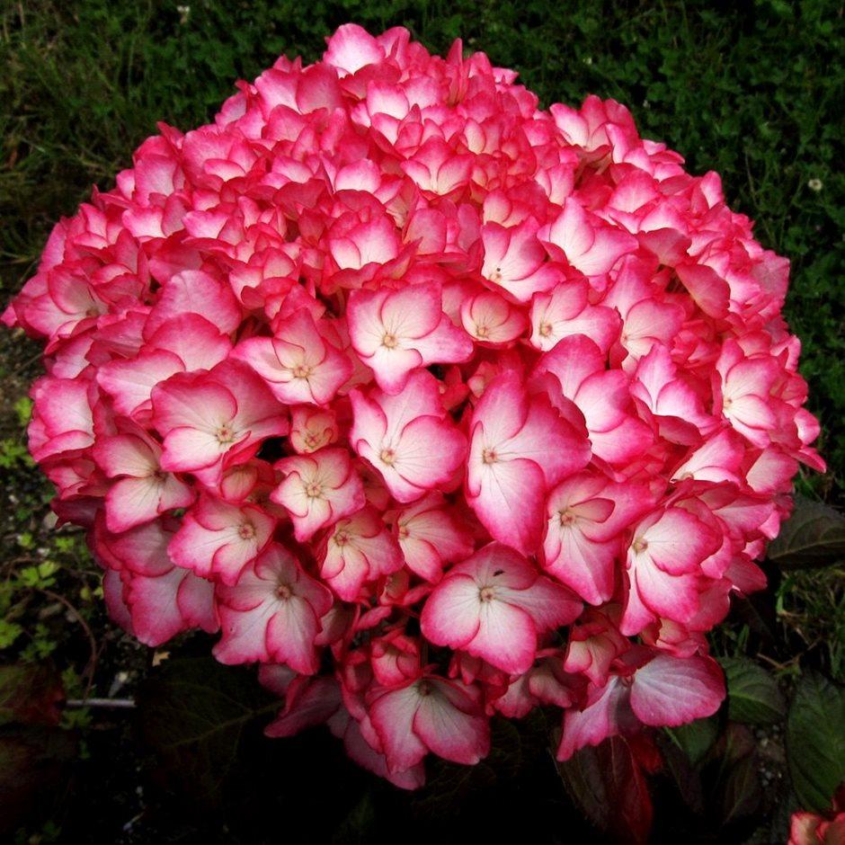 Цветки садовой гортензии