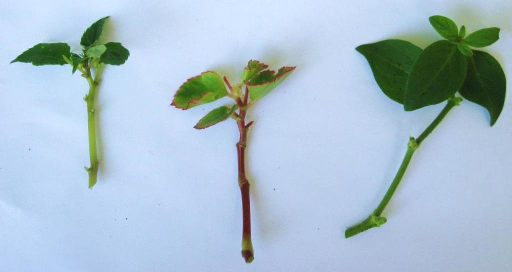 размножение бегонии стеблевыми черенками