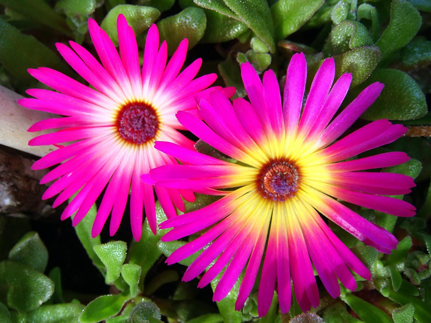 Цветы Мезембриантемум