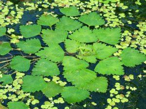 Вода, зеленые листья