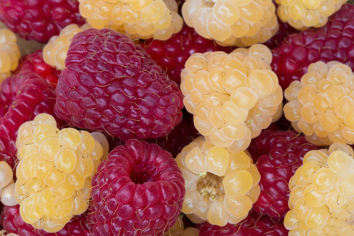 картинка малина желтая ягода цветового