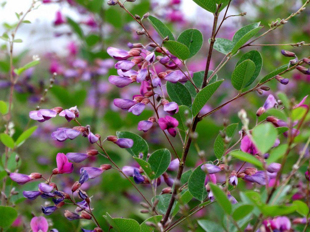 леспедеца фото цветы цвета