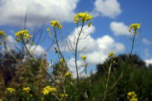 Зеленое растение с желтыми цветами, небо, облака