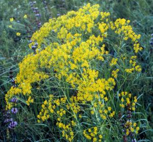 луг, куст с желтыми цветами, зелеными листьями
