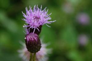 бутон, фиолетовый цветок