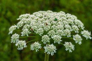 большой белый цветок с множеством соцветий