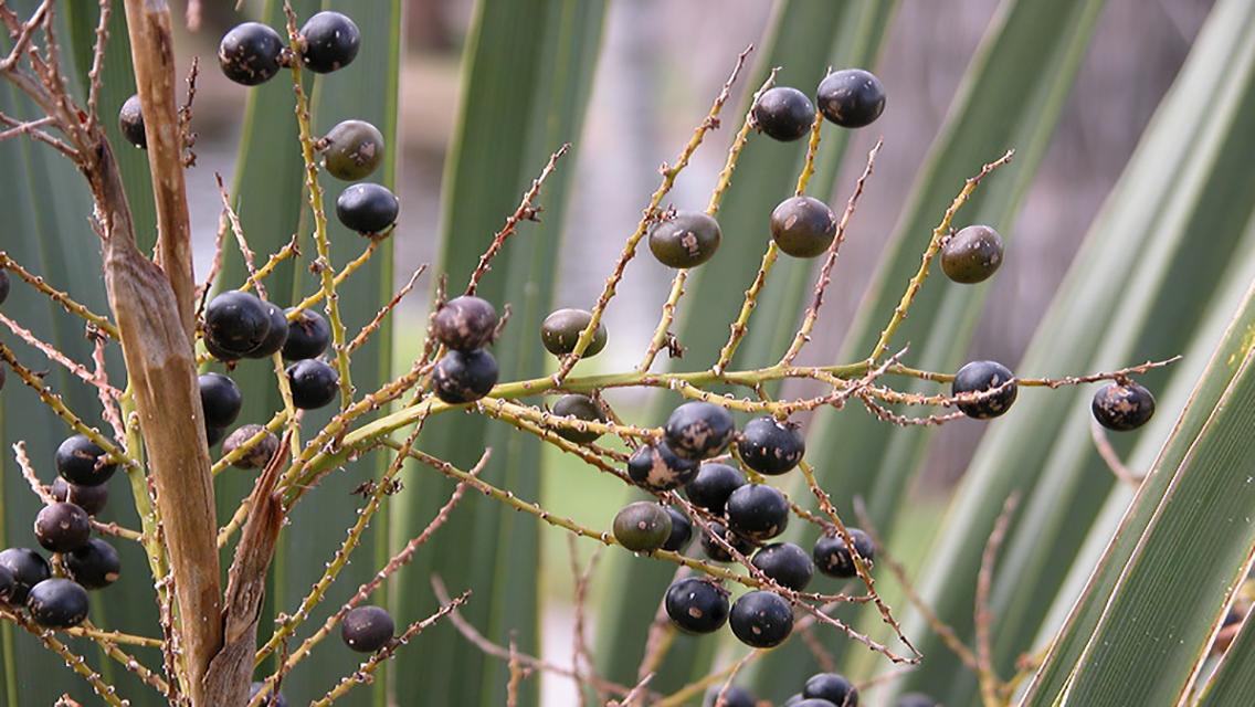 Плоды пальмы сабаль