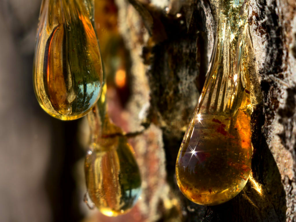 Смола кедра в нетрадиционной медицине