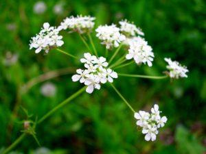растение с белыми цветами, зелень