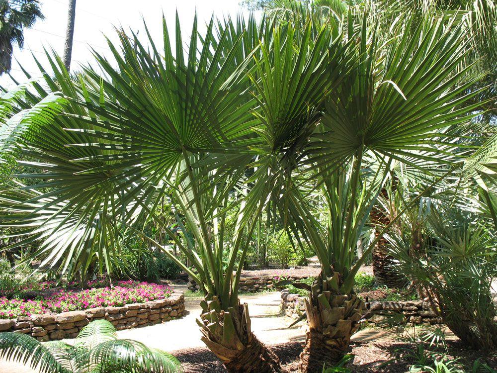 Пальма ползучая для мужчин