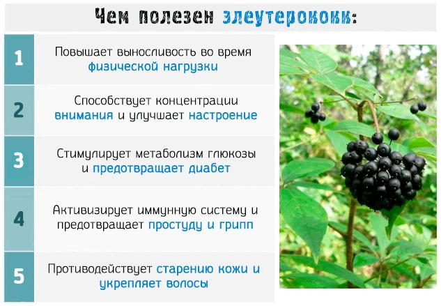 Полезные свойства Элеутерококка