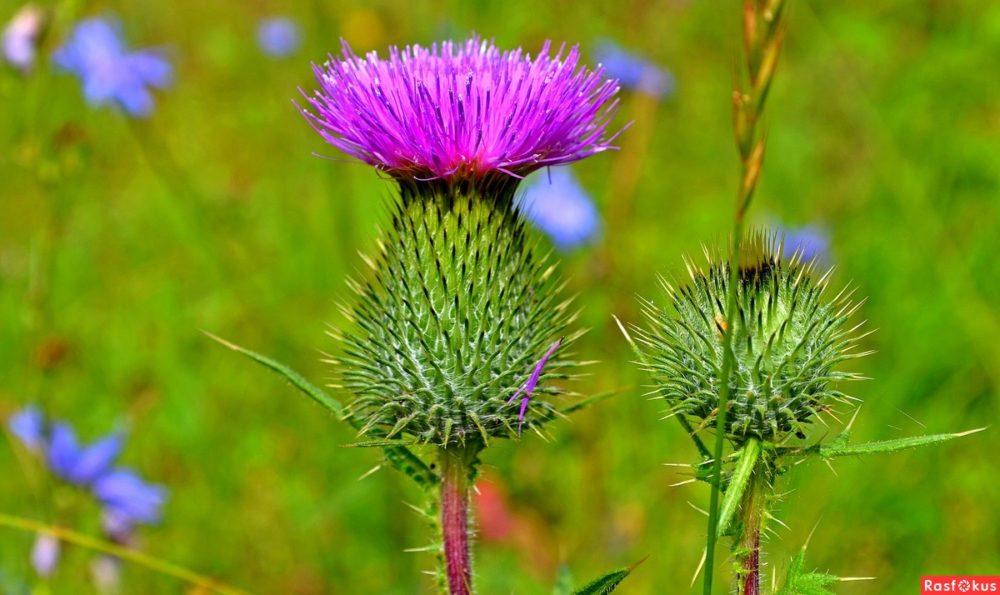 сиреневый цветок, стебель, поле