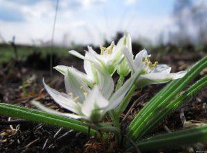 белые цветы, почва, листья