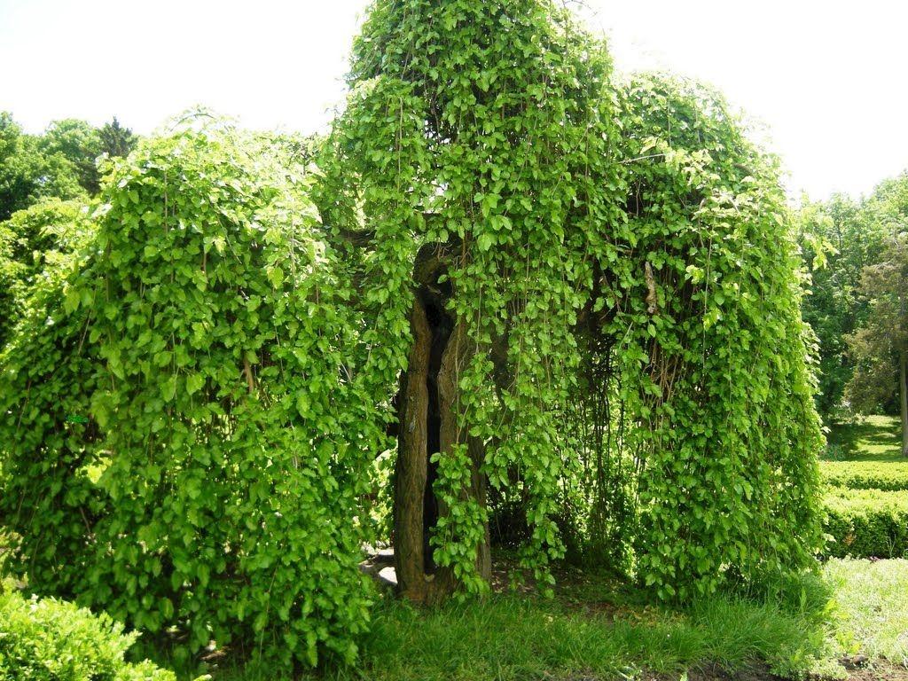 Тутовник дерево