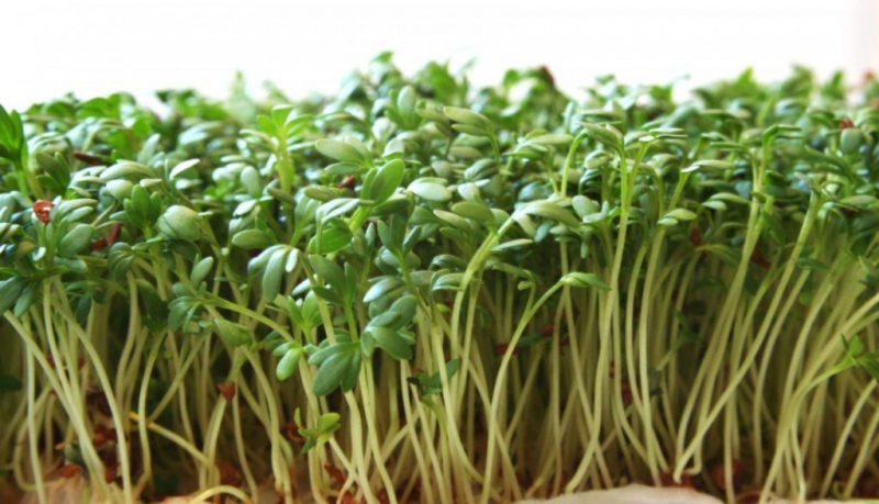 Выращивание жерухи