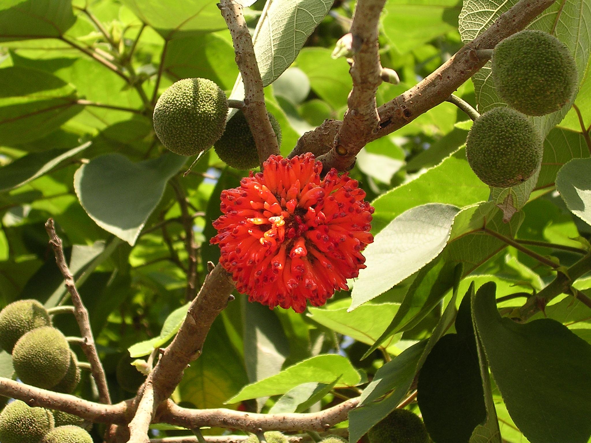зеленый плод, оранжевый цветок, листья зеленые, ветка