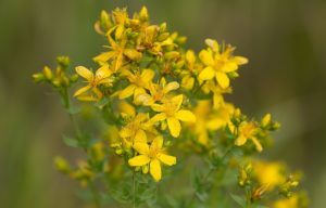 много желтых цветков на стебле, листья
