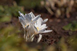 белый цветок, почва